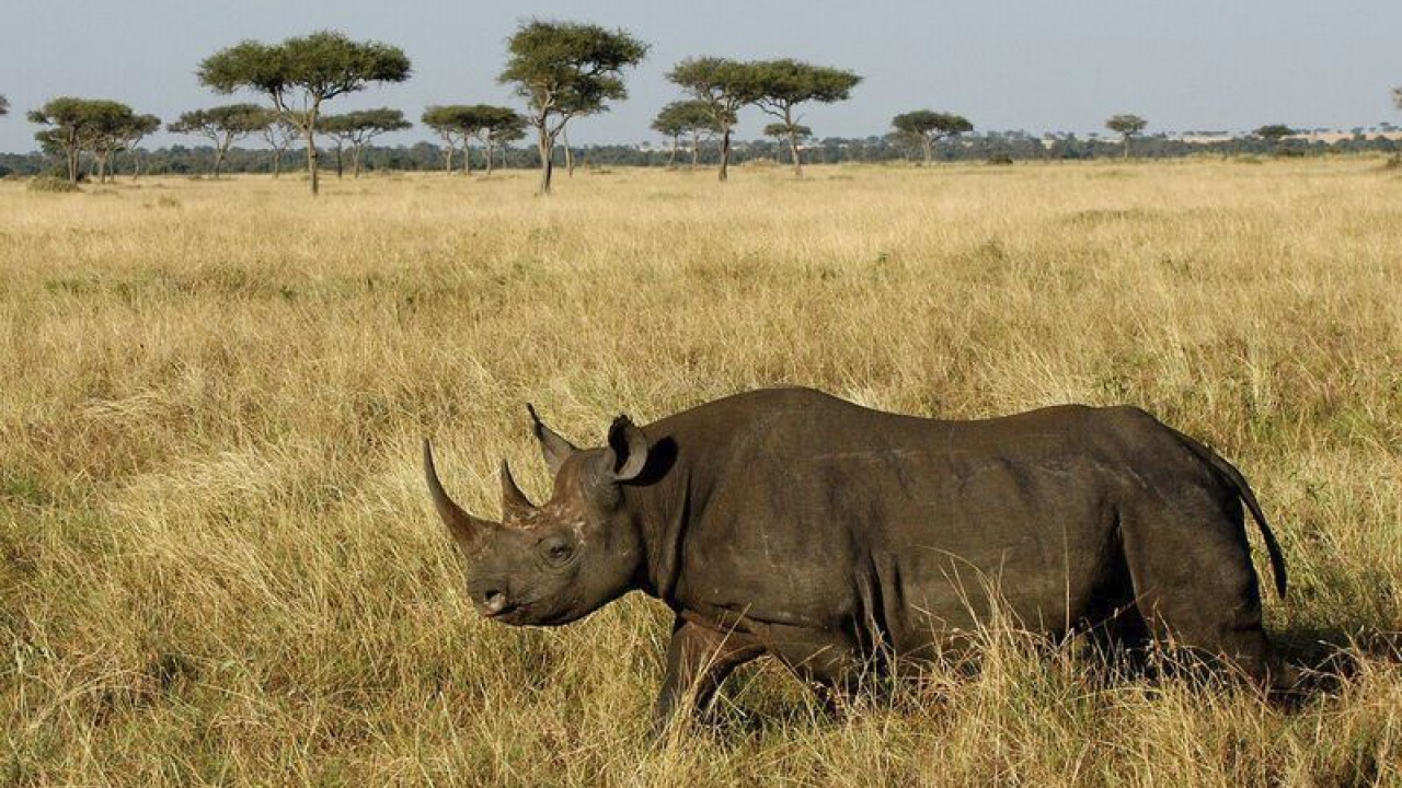 A rhinoceros in Kenya.