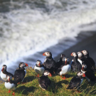 Puffins in Iceland