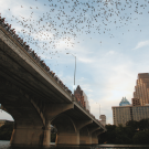 Bats Leaving Congress Ave Bridge